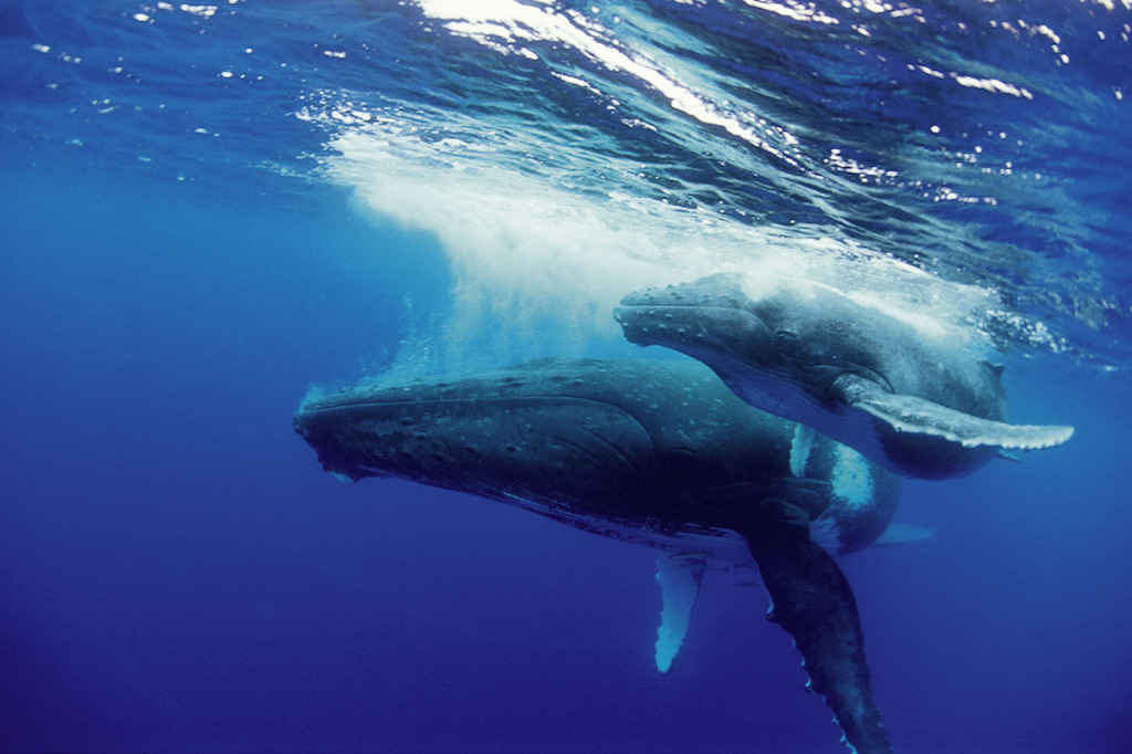 Humpback whale mother and calf on surface