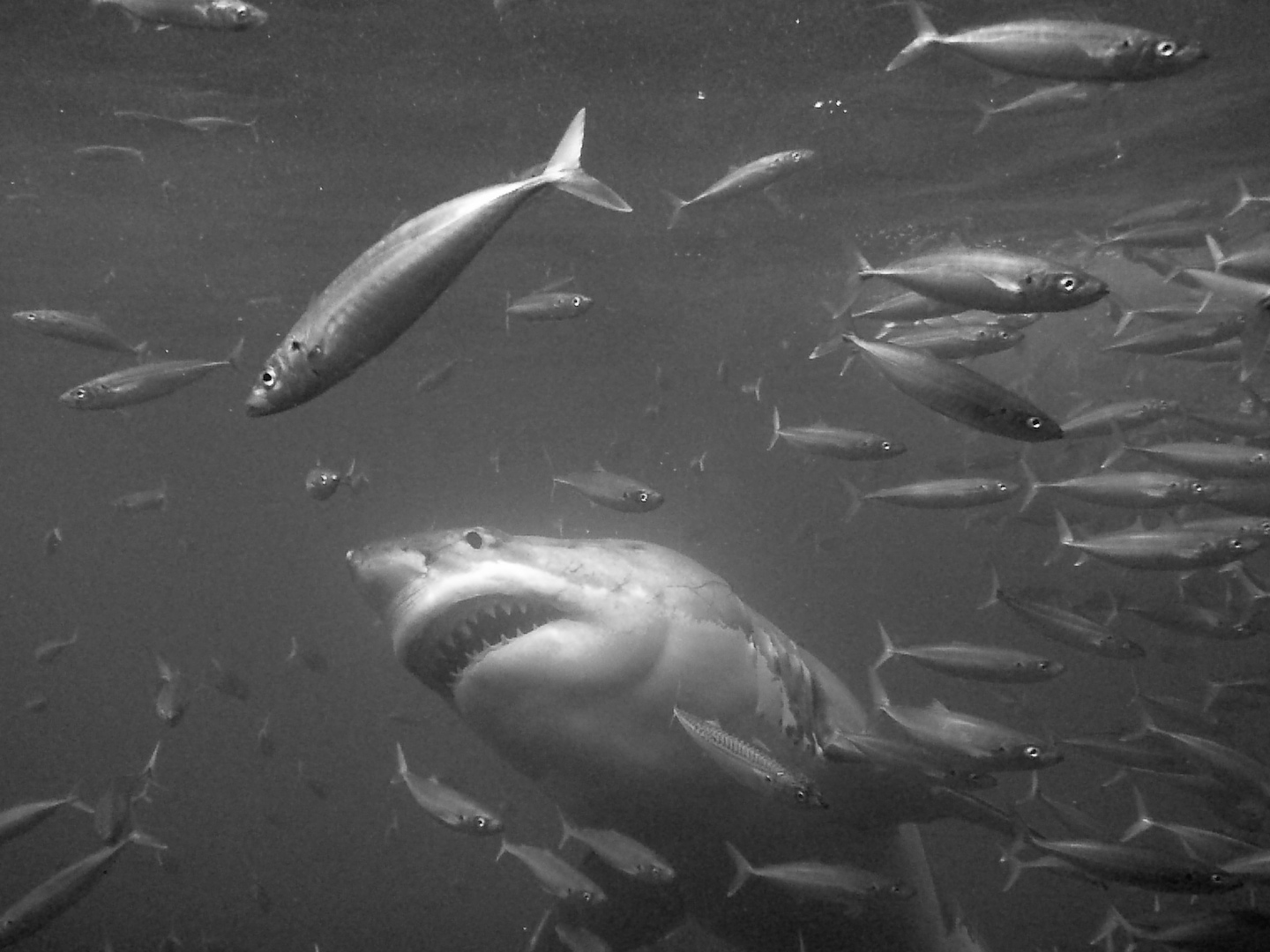 Great white sharks in black and white pacific coast