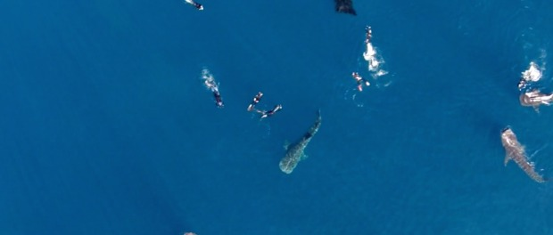 Drone Captures Whale Sharks, Mantas and People