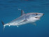 Mako Shark Surprises Divers