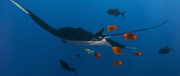 Manta Ray In Flight