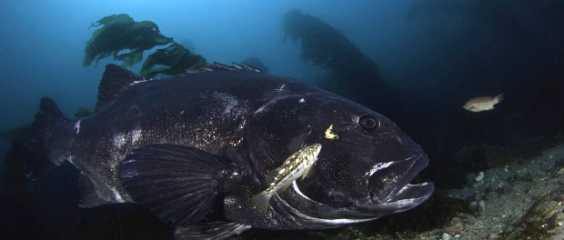 Quest to find the Giant Black Sea Bass